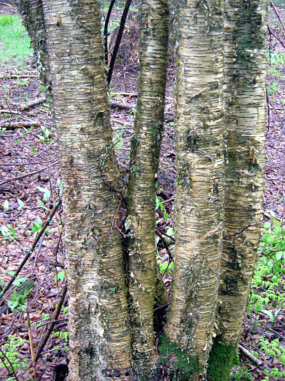 Tronc de bouleau perfect troncs de bouleau disolement sur - Tronc de bouleau ...