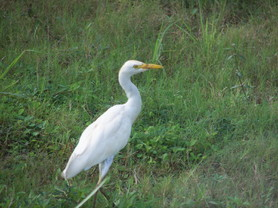 Aigrette � Hawaii